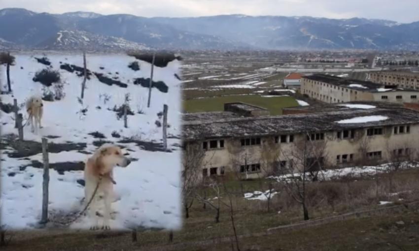 Të lidhur në mes të ftohtit dhe pa ngrënë, skena mizore me qentë endacakë në Pogradec