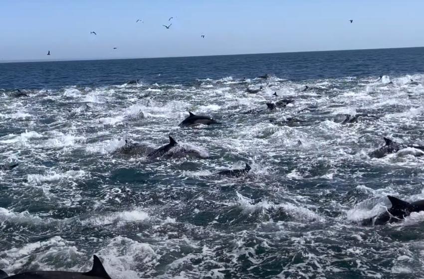 1 mijë delfinë të kapur në një video… pamje të mrekullueshme