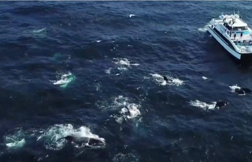 Qindra balena në një 'copëz' të oqeanit, shikoni këto pamje spektakolare